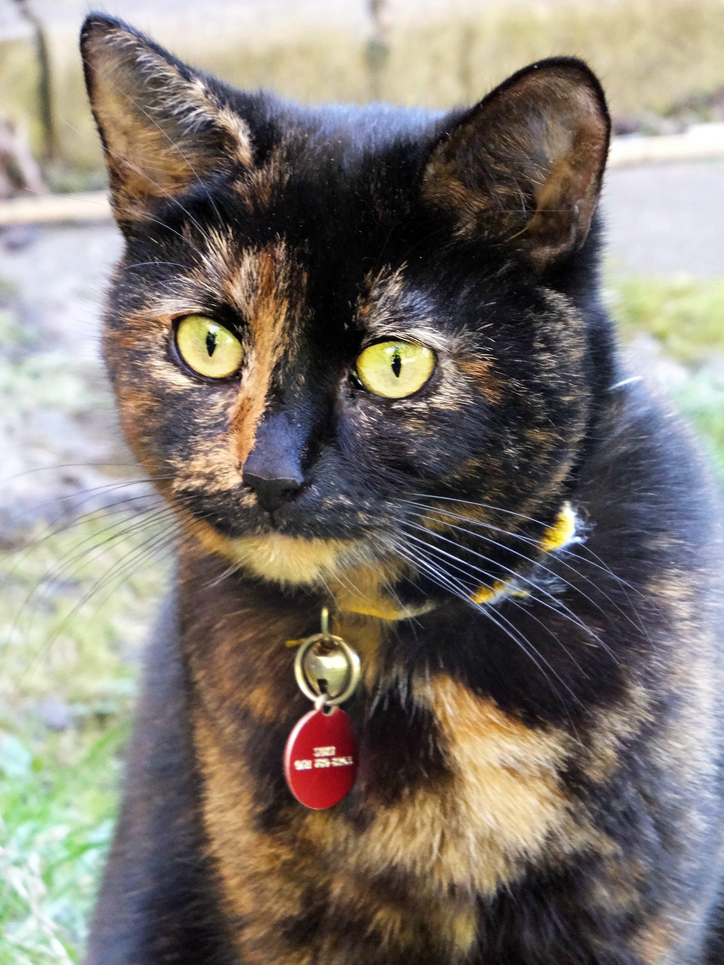 Free stock photo of cat, cats eyes, pets, tortoiseshell cat