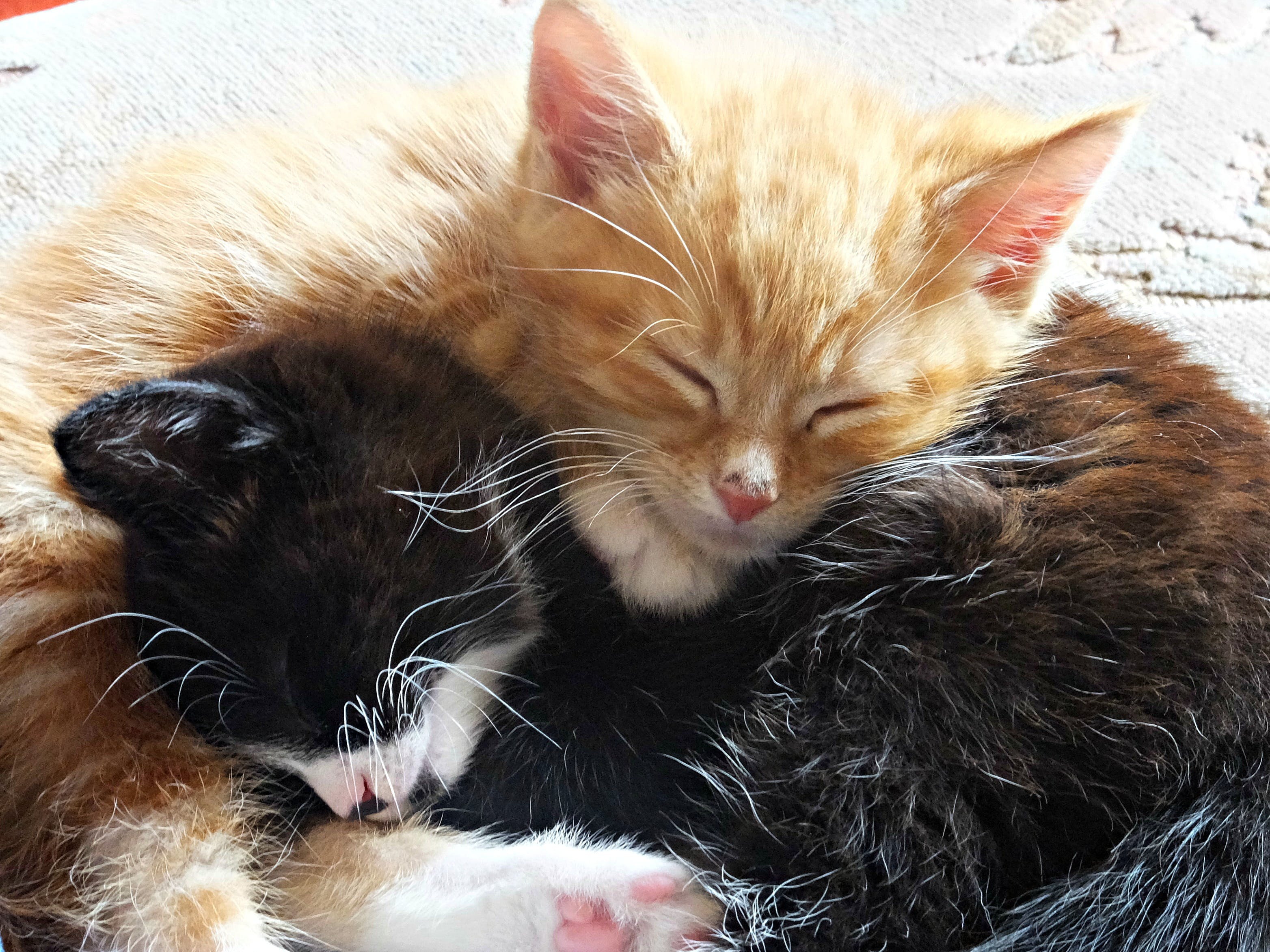 Free stock photo of babies, black-and-white, cats, ginger cat