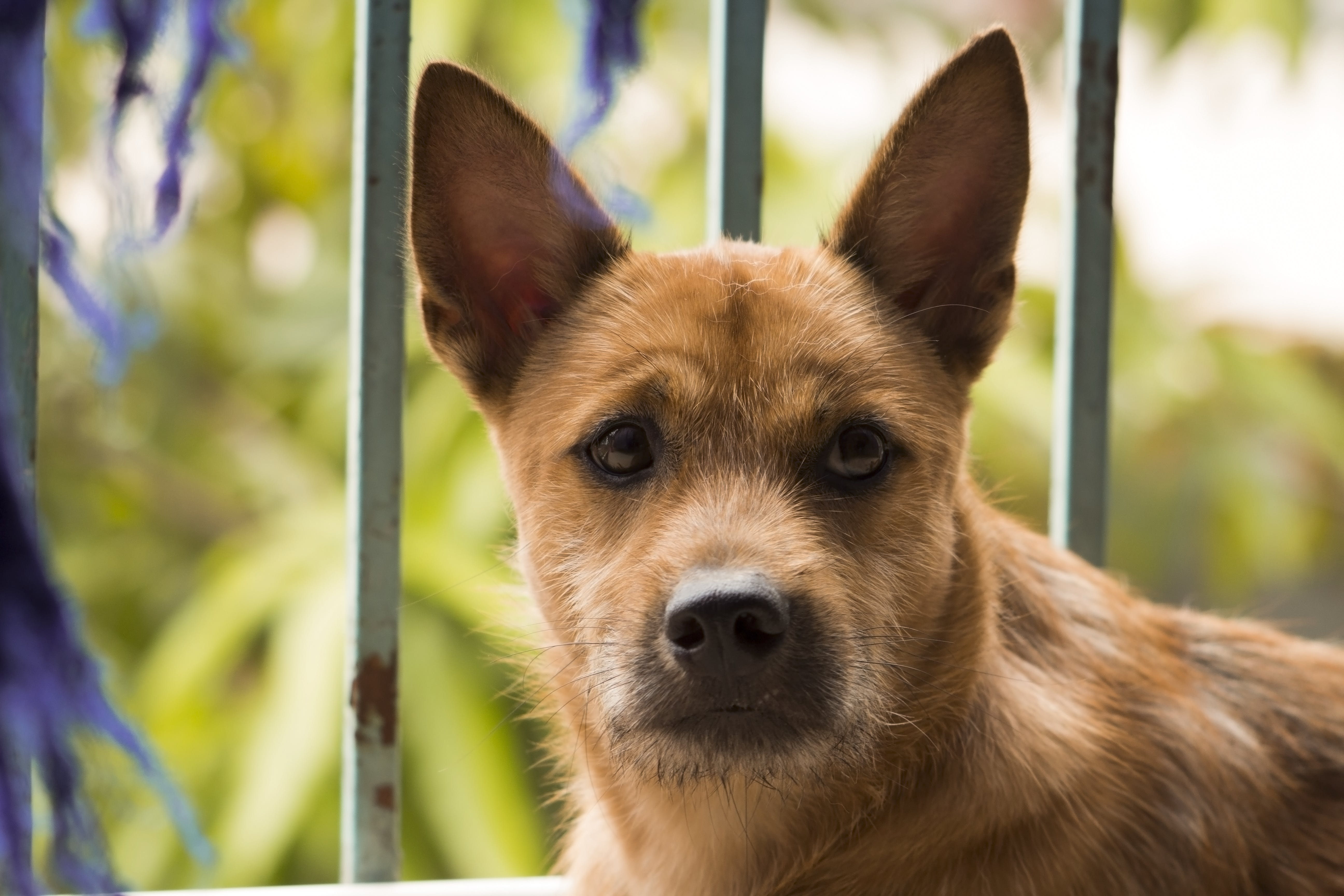 Free stock photo of Asian, big eyes, bull's eye, dog