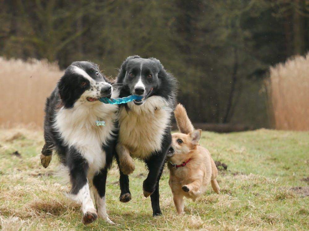 Fotos de stock gratuitas de Border Collie, perro, perros