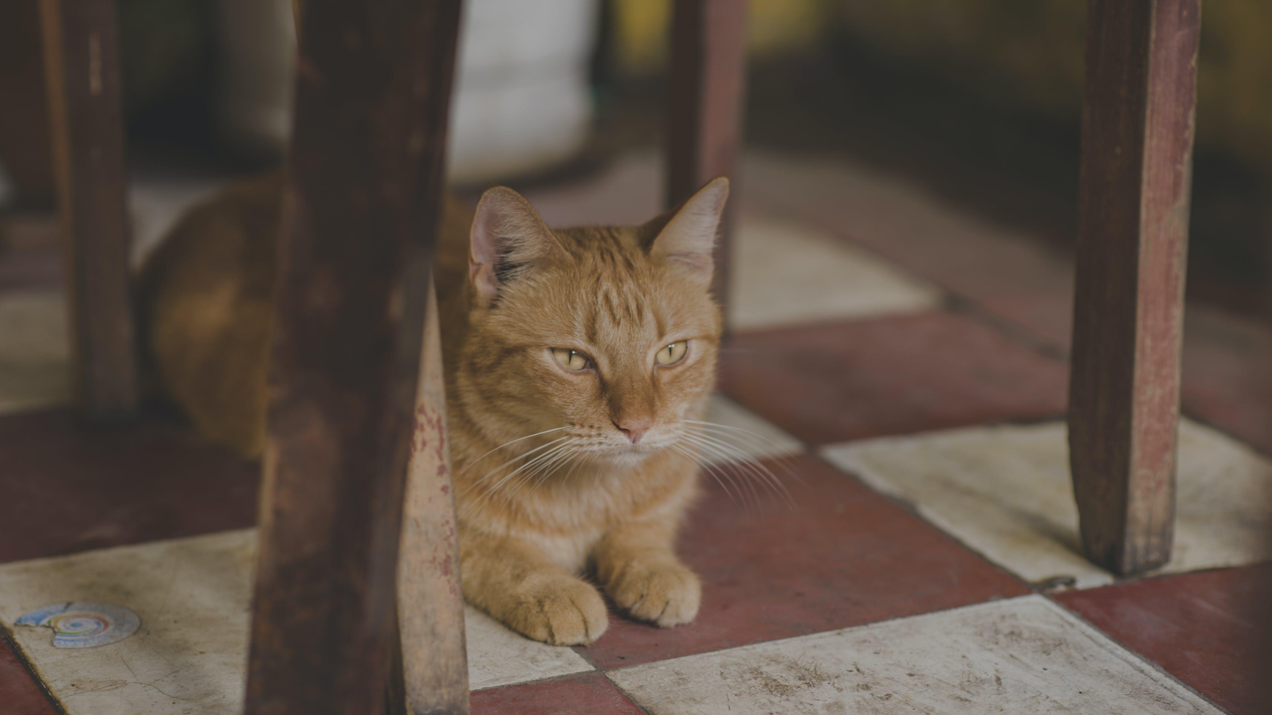 Photo of Orange Tabby Cat Under Chair