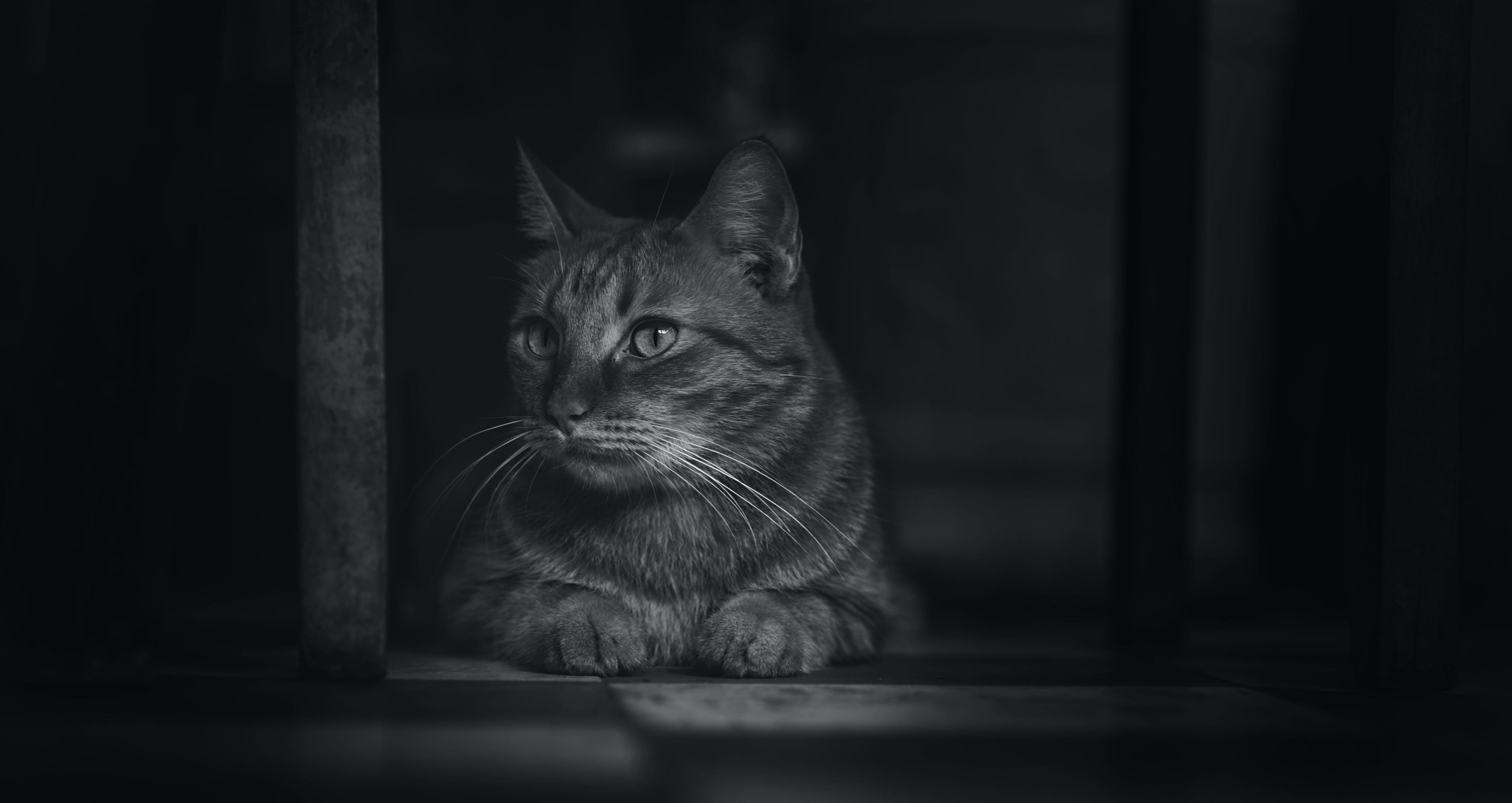 Monochrome Photography of Cat