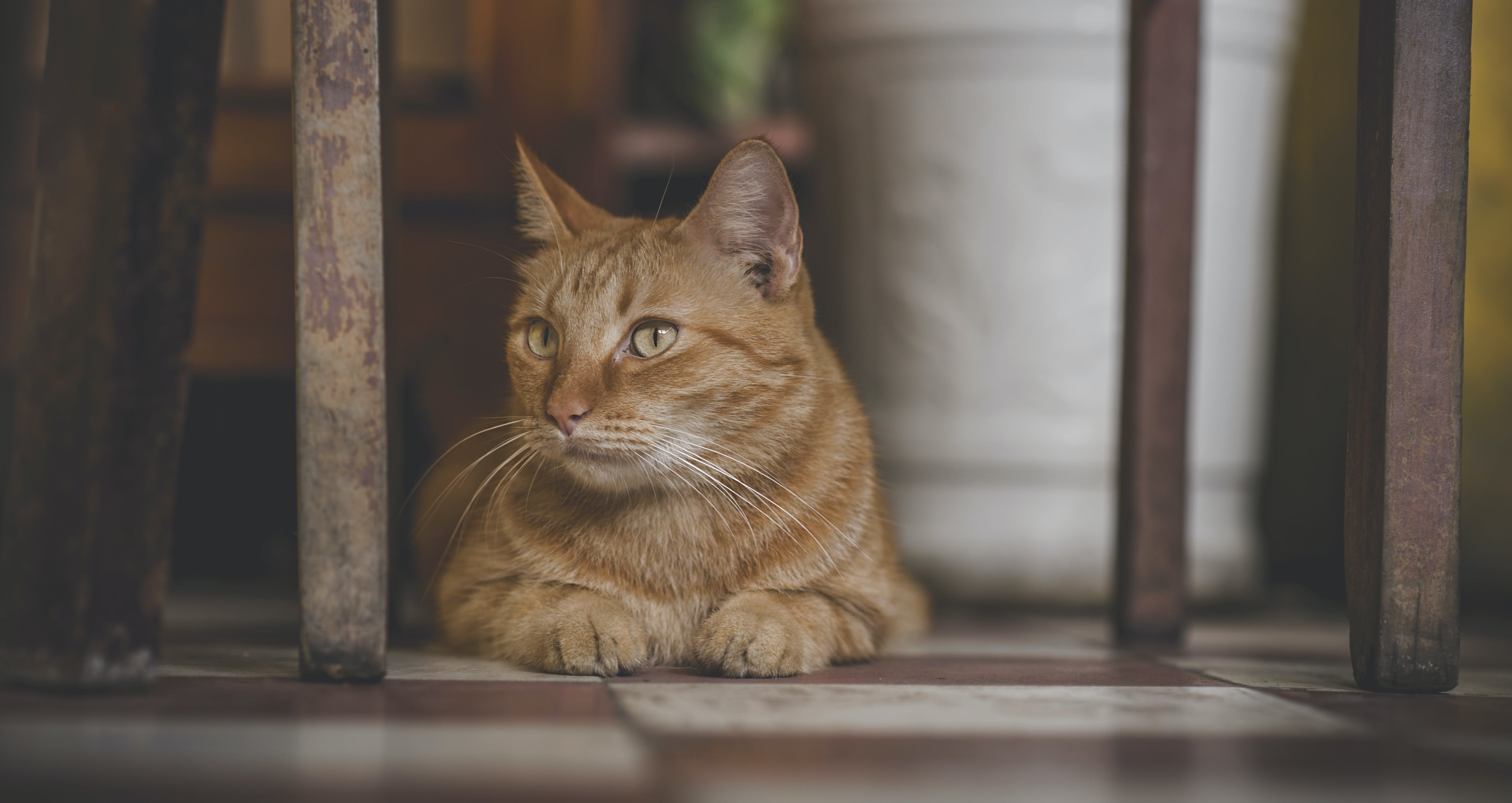Photo of Orange Tabby Cat