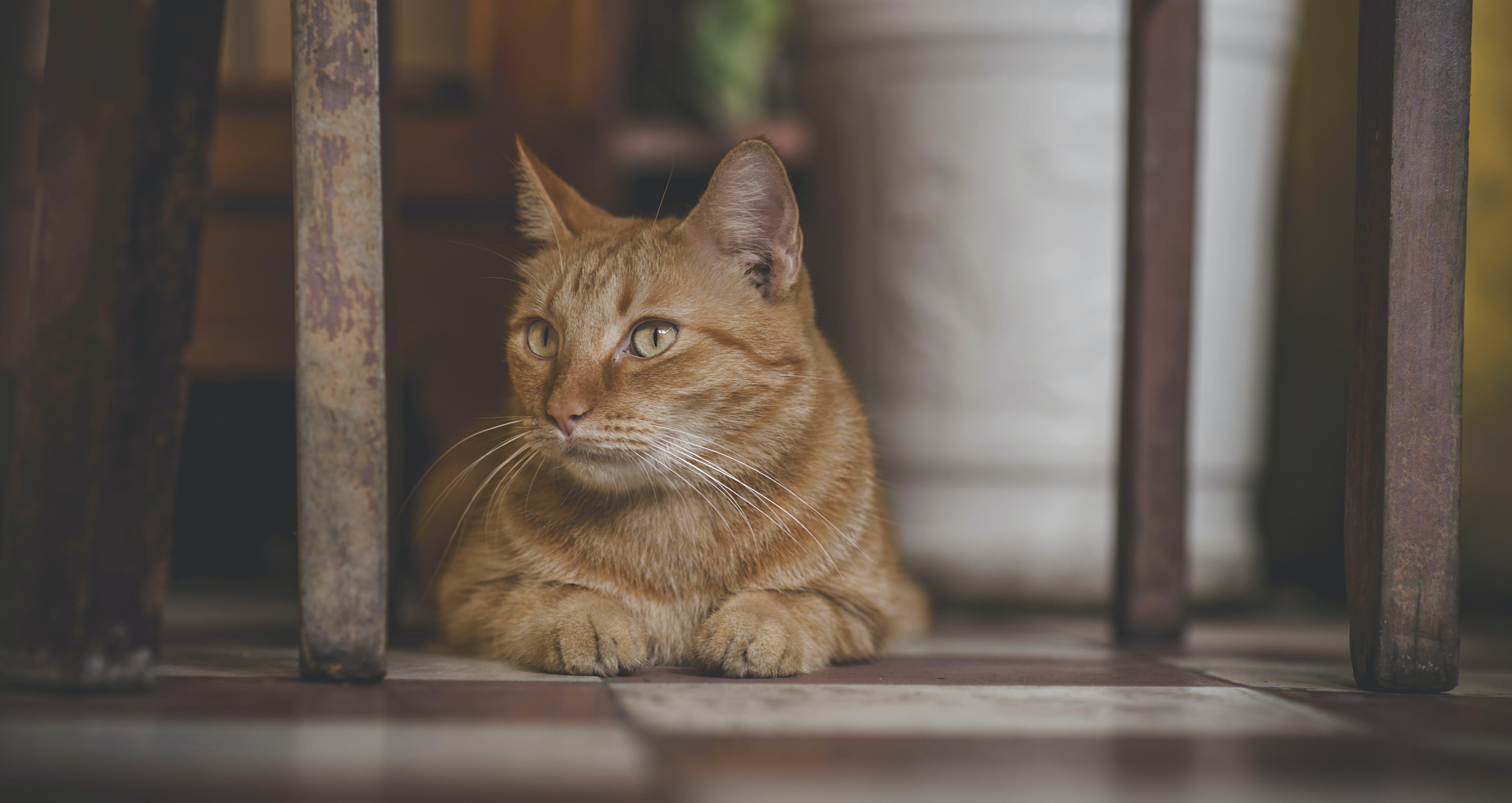 Δωρεάν στοκ φωτογραφιών με αιλουροειδές, Αιλουροειδή, βάθος πεδίου, Γάτα