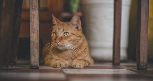 橙色虎斑貓的照片