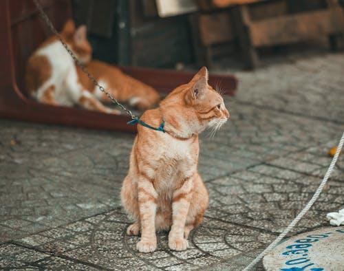 Бесплатное стоковое фото с глубина резкости, домашняя кошка, животное, кошачьи