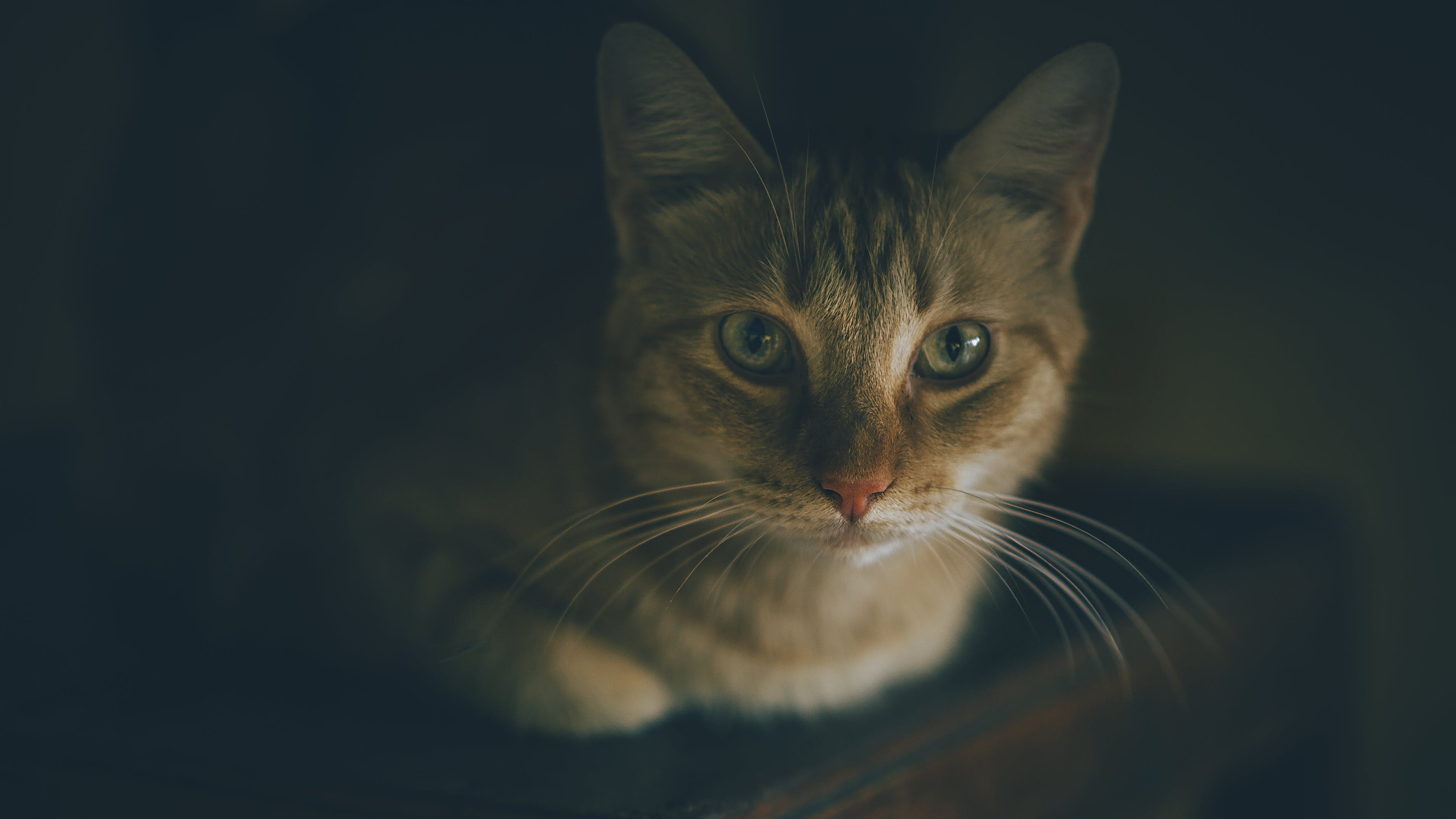 Shallow Focus Photography of Tabby Cat