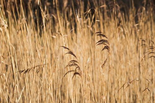 Free stock photo of background, corn, cornfield, cornflower