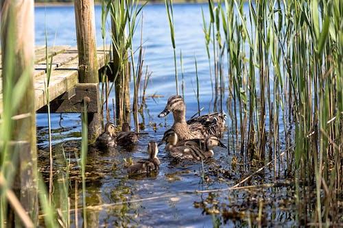 Free stock photo of animal, duck bird, duckling, ocean