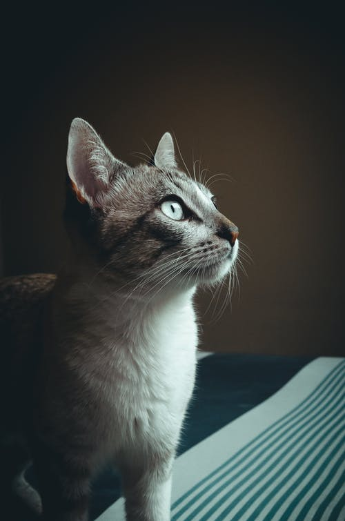 Ingyenes stockfotó állat, álló kép, aranyos, bajusz témában