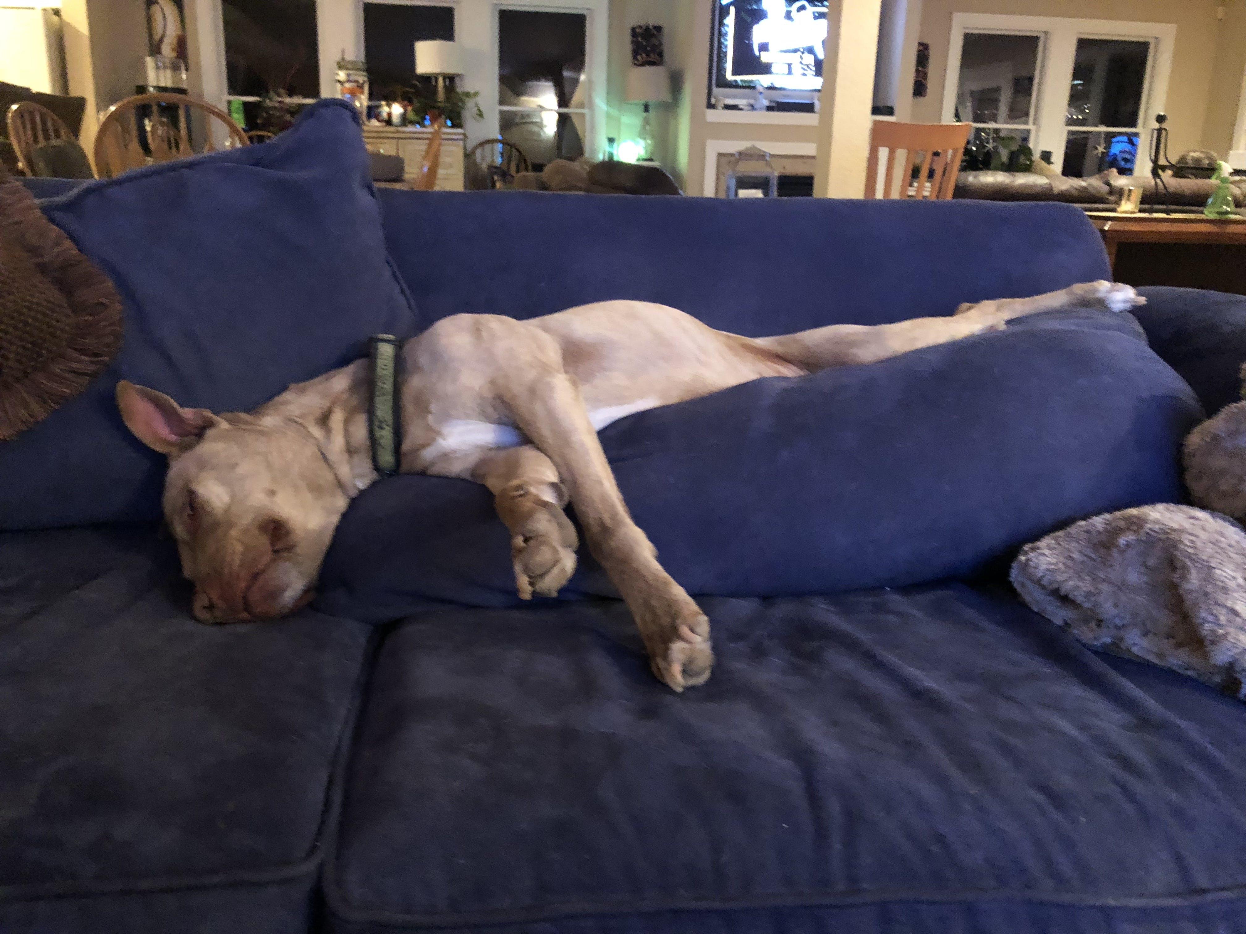 Free stock photo of dog, sleeping dog, Pitt bull