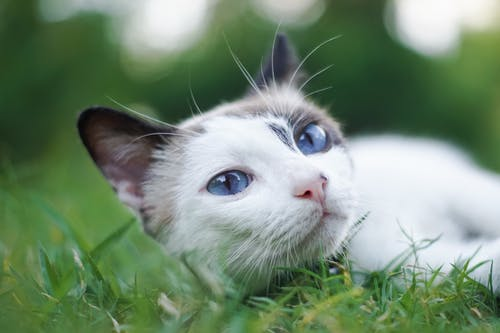 Безкоштовне стокове фото на тему «вуса, кішка, кицька, котячі»