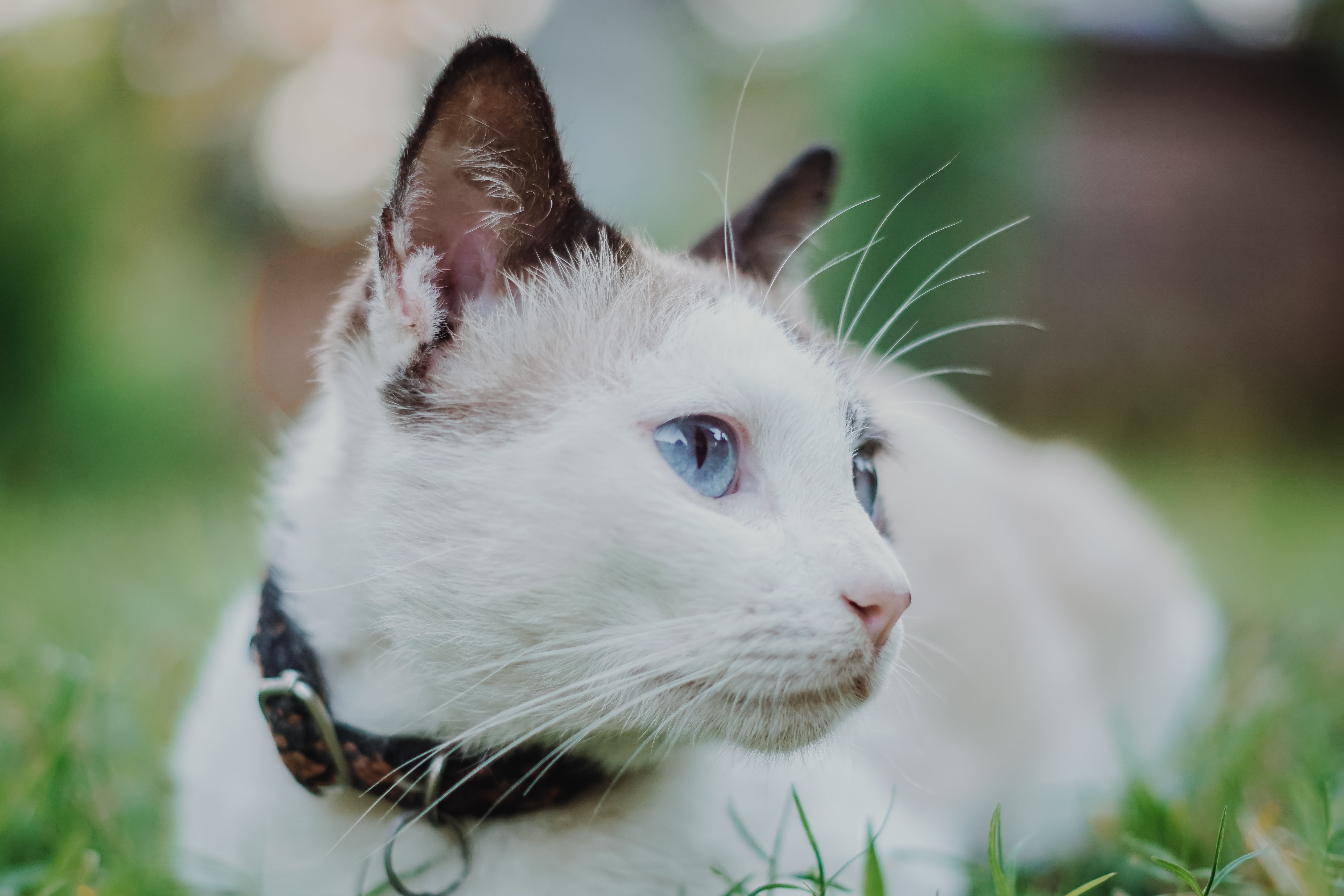 Cat With Collar