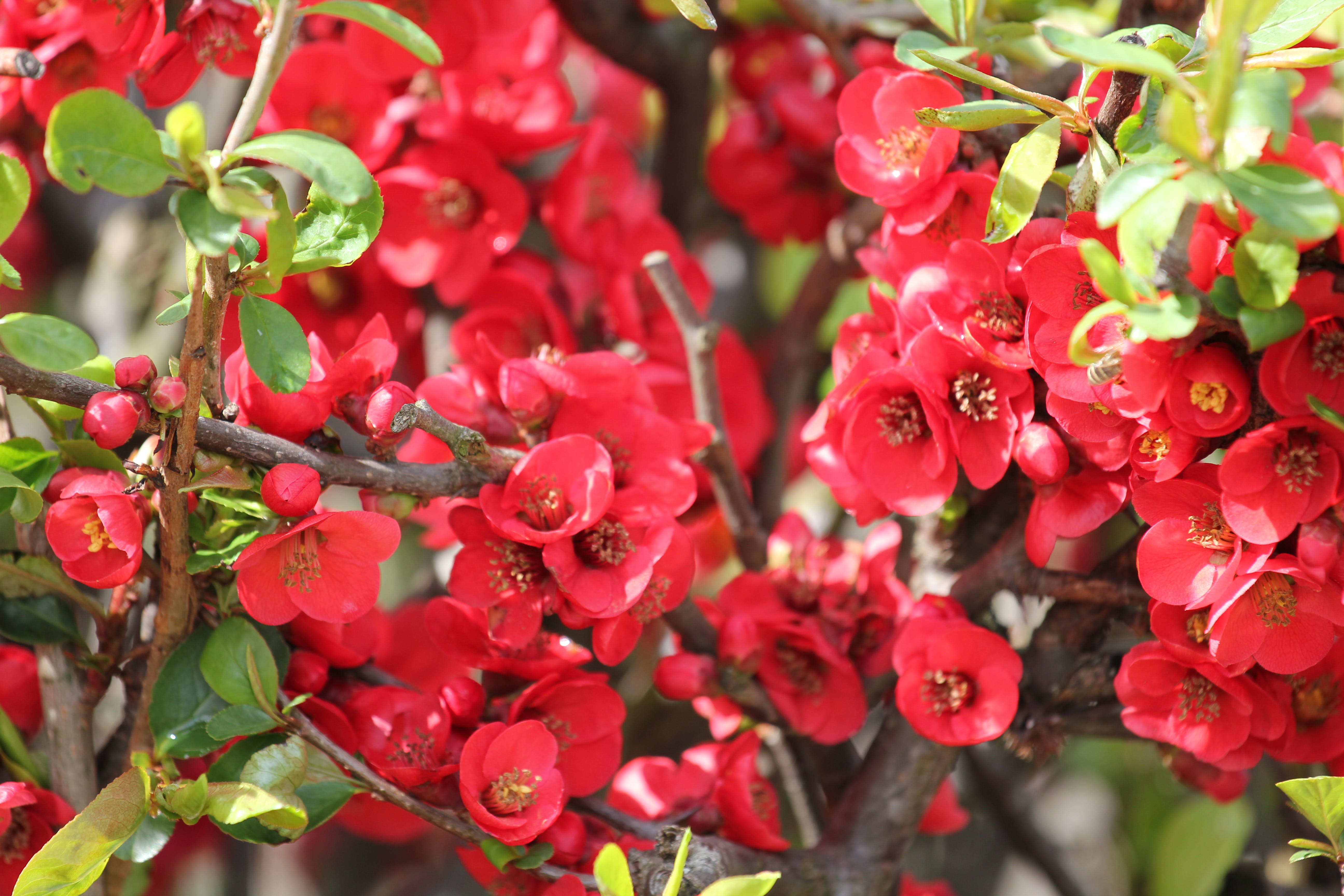 Free stock photo of blooming, full bloom, red flowers