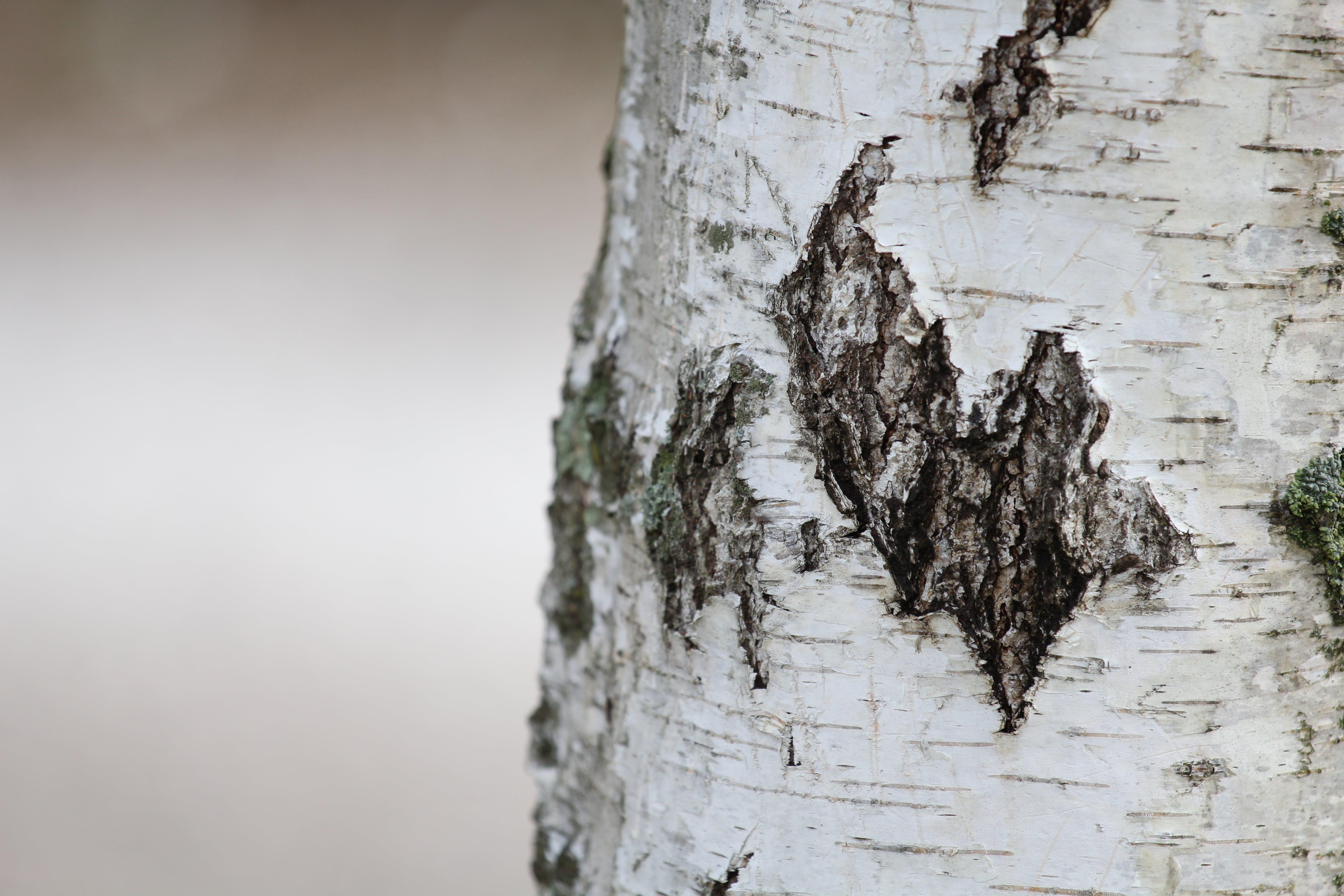 คลังภาพถ่ายฟรี ของ ลำต้นของต้นไม้, โคลสอัป