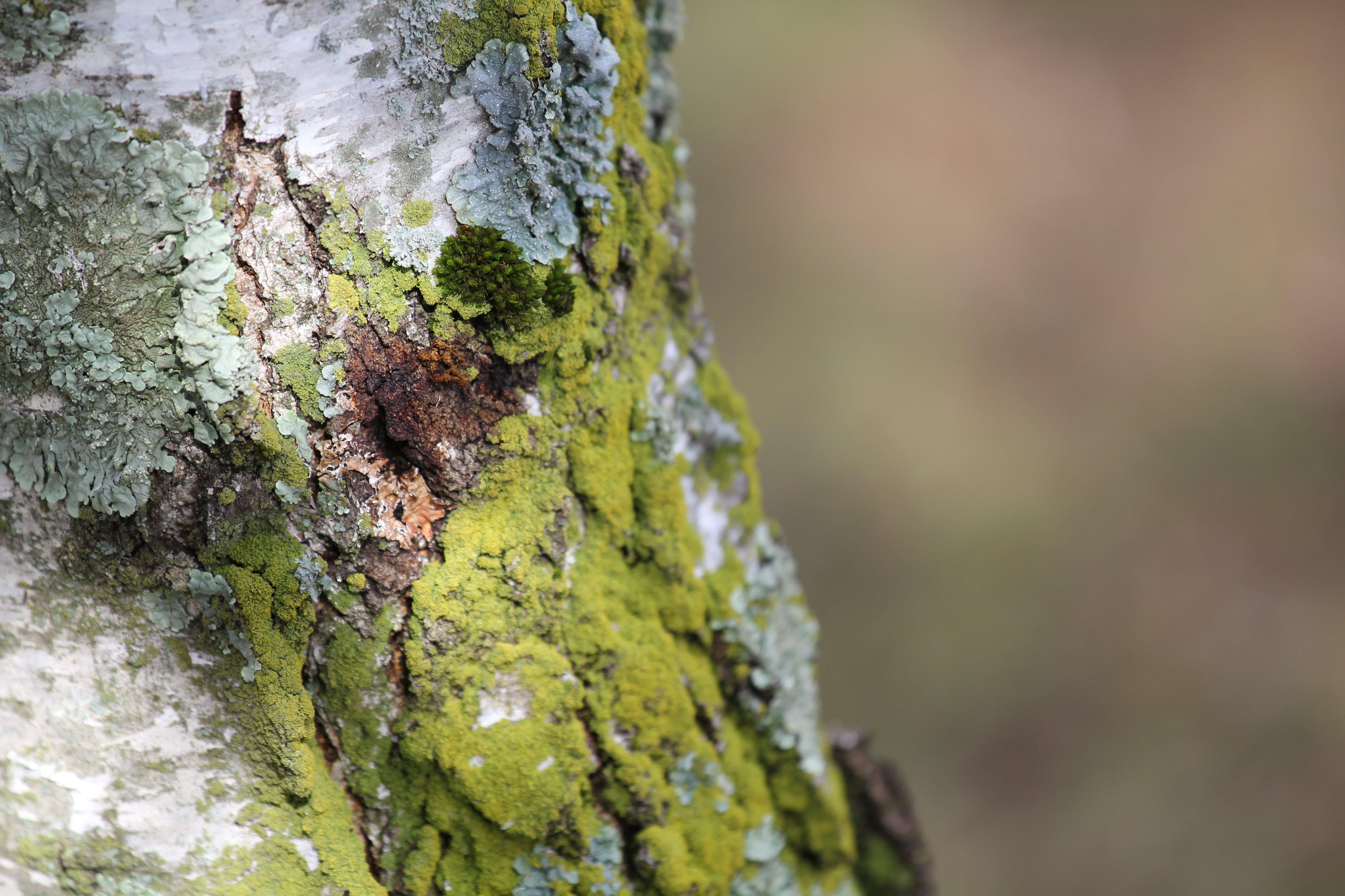 คลังภาพถ่ายฟรี ของ ตะไคร่น้ำ, ลำต้นของต้นไม้, เปลือกไม้, โคลสอัป