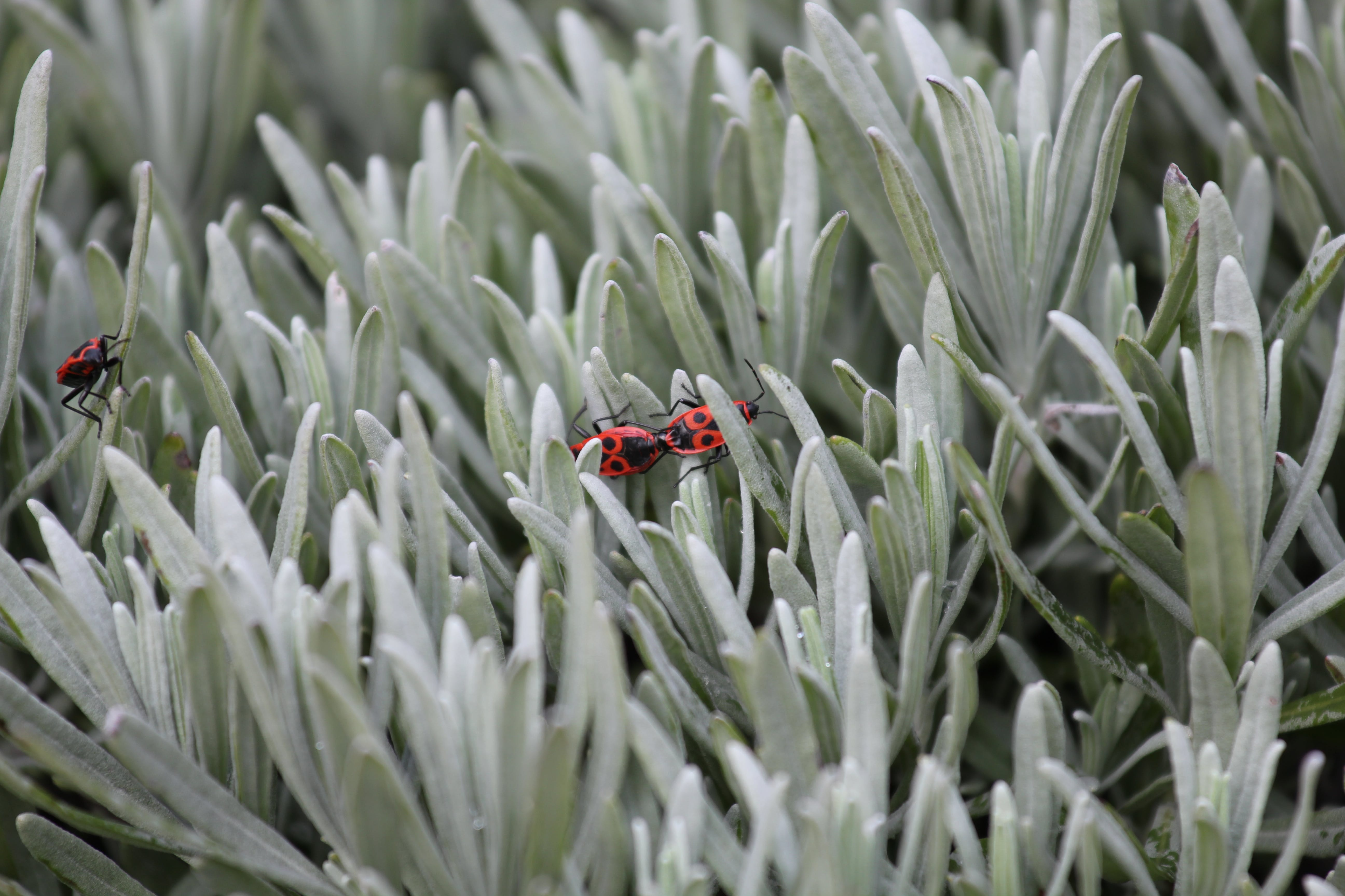 Firebugs Mating