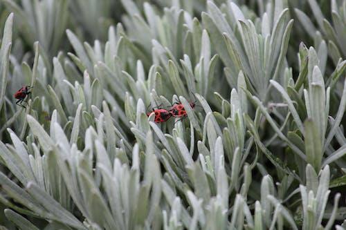 Základová fotografie zdarma na téma barva, brouci, firebugs, hmyz