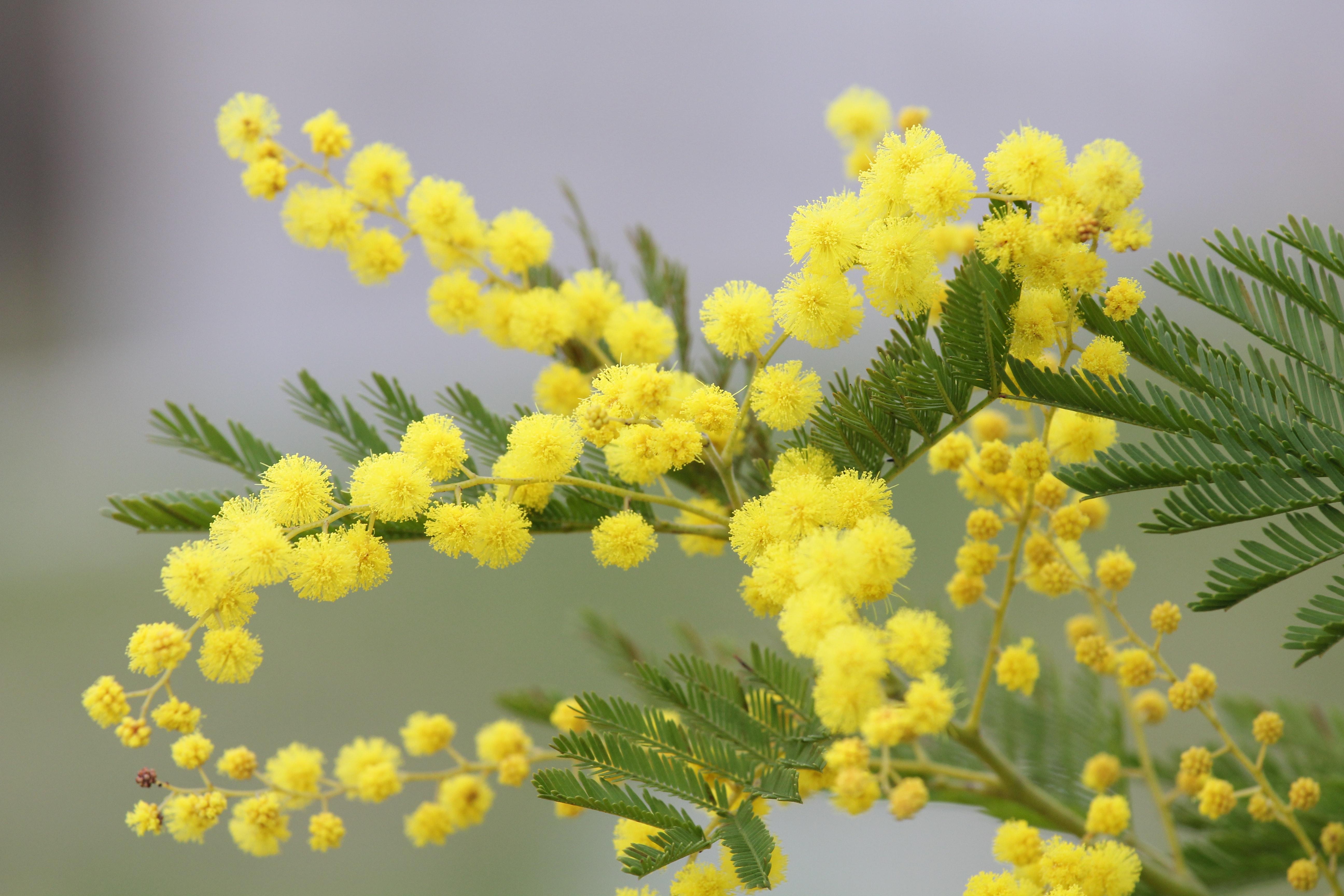 Yellow Mimosa Flowers Free Stock Photo