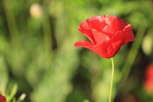 1000 interesting poppy flowers photos pexels free stock photos red poppy flower mightylinksfo Gallery