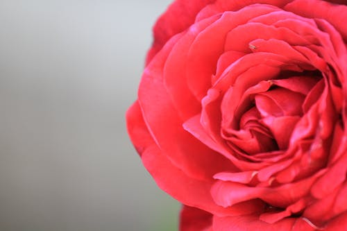Free stock photo of Red Rose, rose bloom