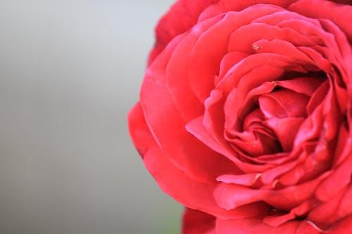Základová fotografie zdarma na téma květ růže, Rudá růže