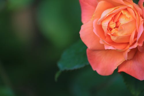 Free stock photo of rose bloom