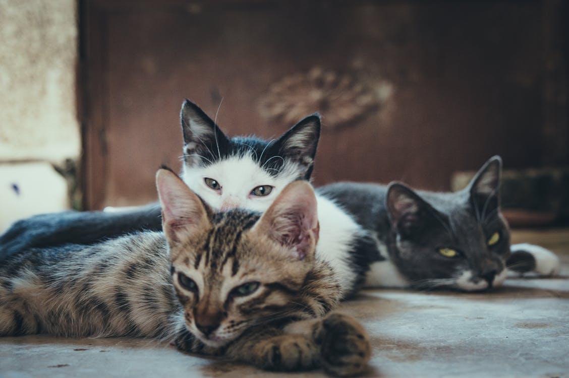 Three Short-fur Assorted-color Cats