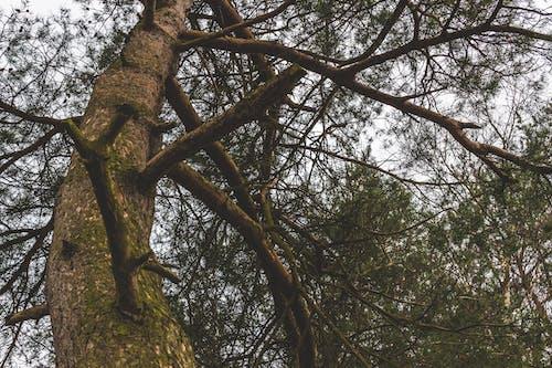 #branches, #松树, #树 的 免费素材照片
