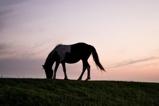 Free stock photo of animal, silhouette, grass, horse