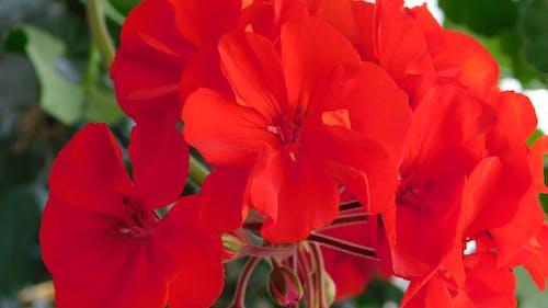 Free stock photo of red geranium blooming again