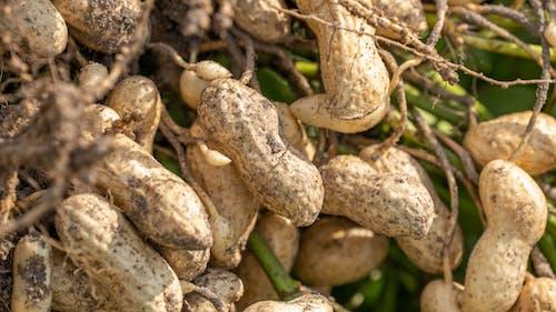 agbiopix, ピーナッツの無料の写真素材