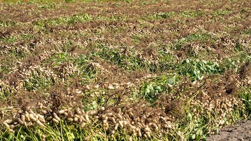 agbiopix, ピーナッツ, ピーナッツ畑の無料の写真素材