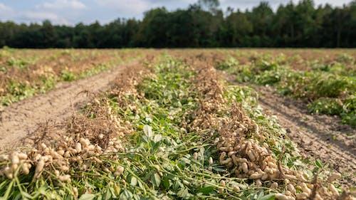 agbiopix, ピーナッツ畑, フードの無料の写真素材