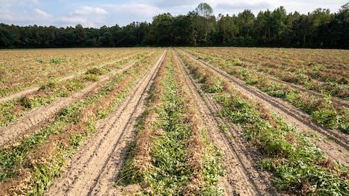 agbiopix, ピーナッツ畑, ファームの無料の写真素材