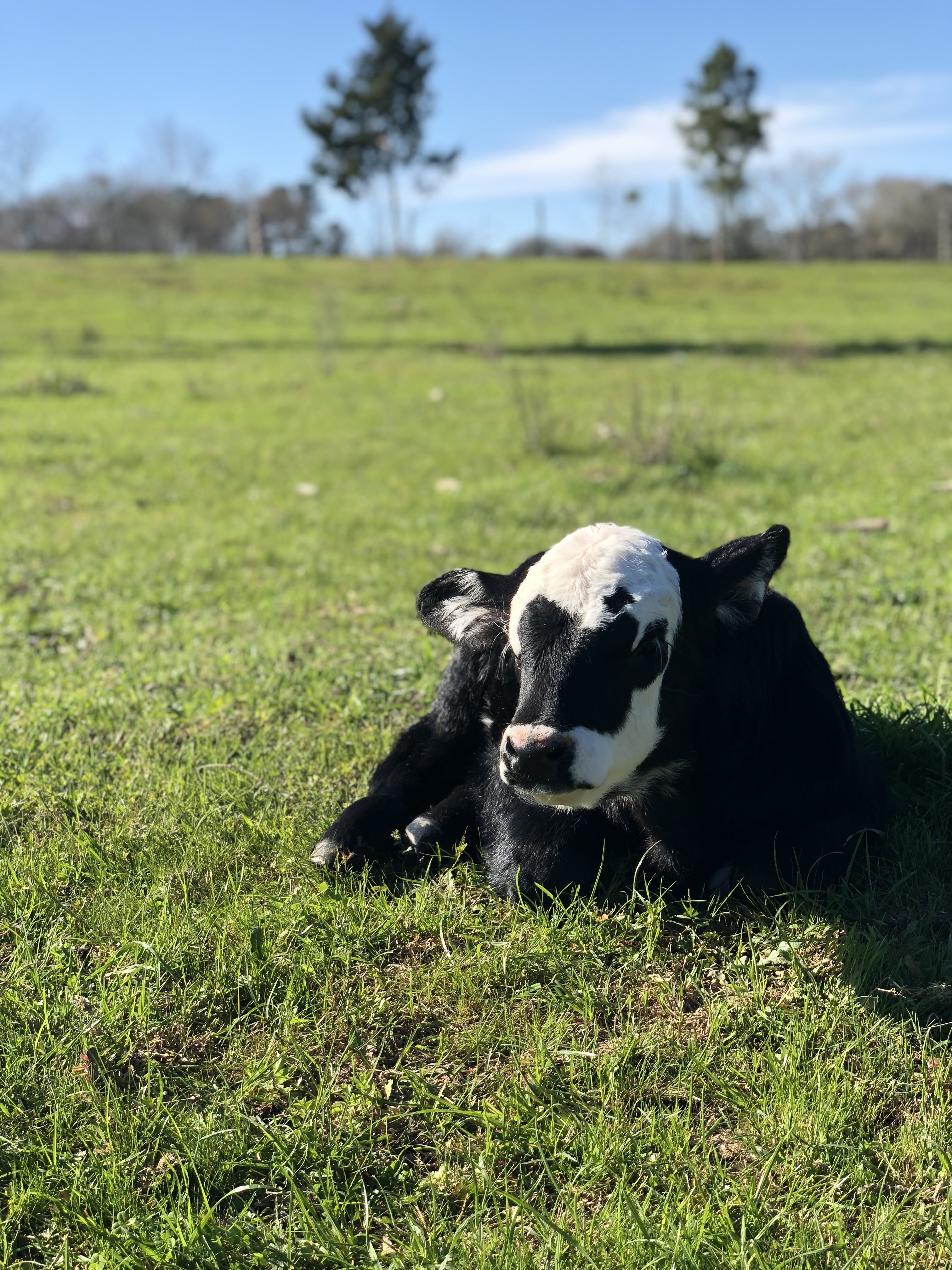Black And White Calf On Green Grass Field