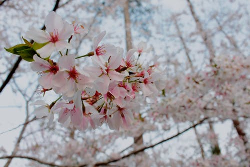 Cherry Blossom Close-up Photo