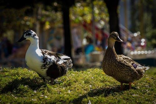 Бесплатное стоковое фото с городской парк, пруд, утки