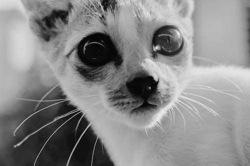 Free stock photo of astonished, bangladesh, kitten