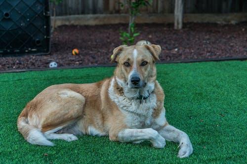 Безкоштовне стокове фото на тему «величний, вродлива, поза, собака»
