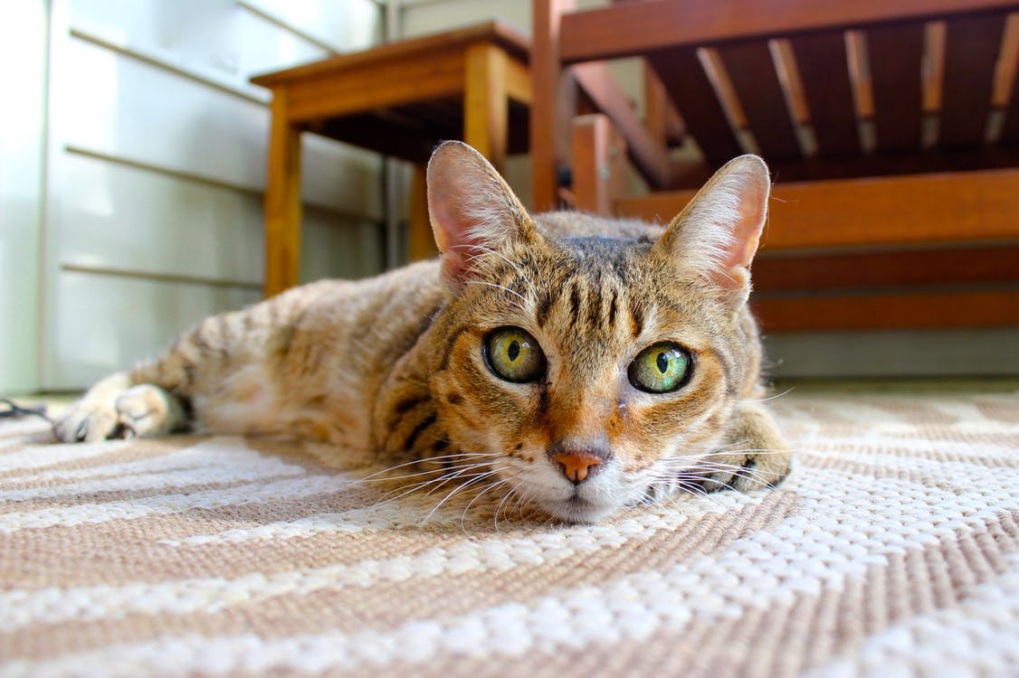 Brown Cat Lying on Area Rug