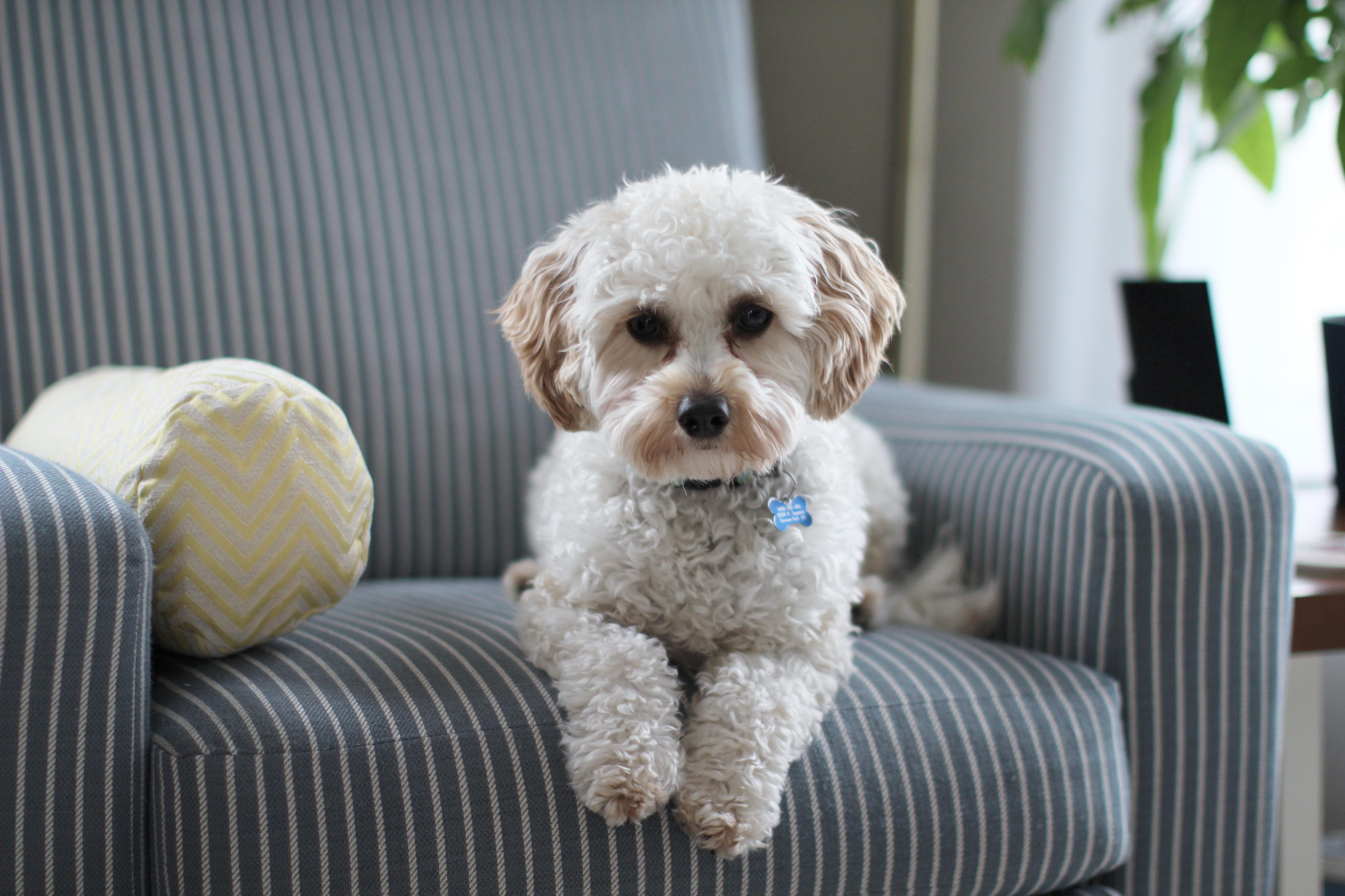 White Shih Tzu Puppy On Fabric Sofa Chair Free Stock Photo