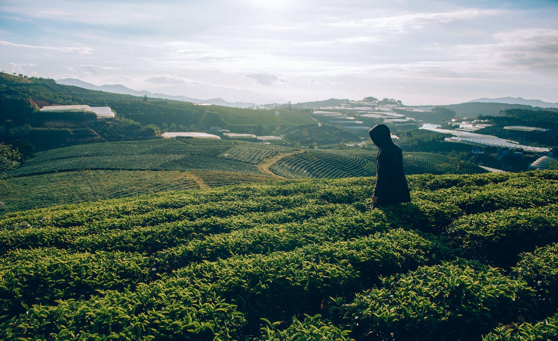 """<img src=""""crop field of tea-1.jpg"""" alt=""""tea industry""""/>"""