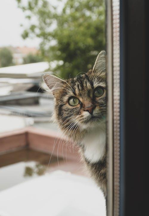 Tabby cat looking in through window