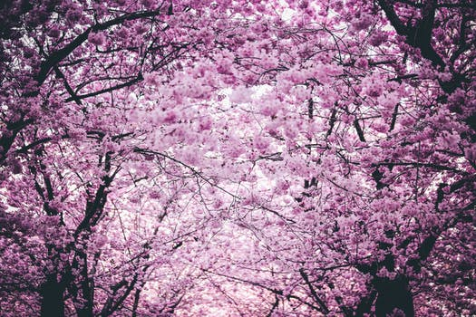 1000 interesting cherry blossom photos pexels free stock photos pink flowers on trees mightylinksfo