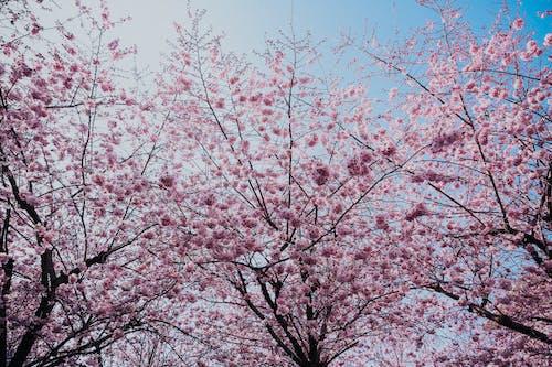 Ingyenes stockfotó ág, bimbó, cseresznye, évszak témában