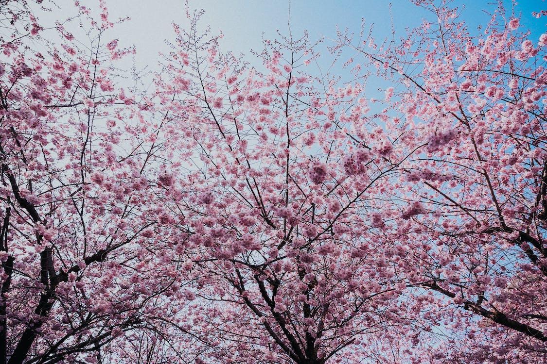 årstid, blå himmel, blomst