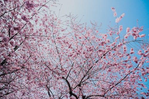 Fotobanka sbezplatnými fotkami na tému čerešňový kvet, flóra, jarné kvety, jarné obdobie