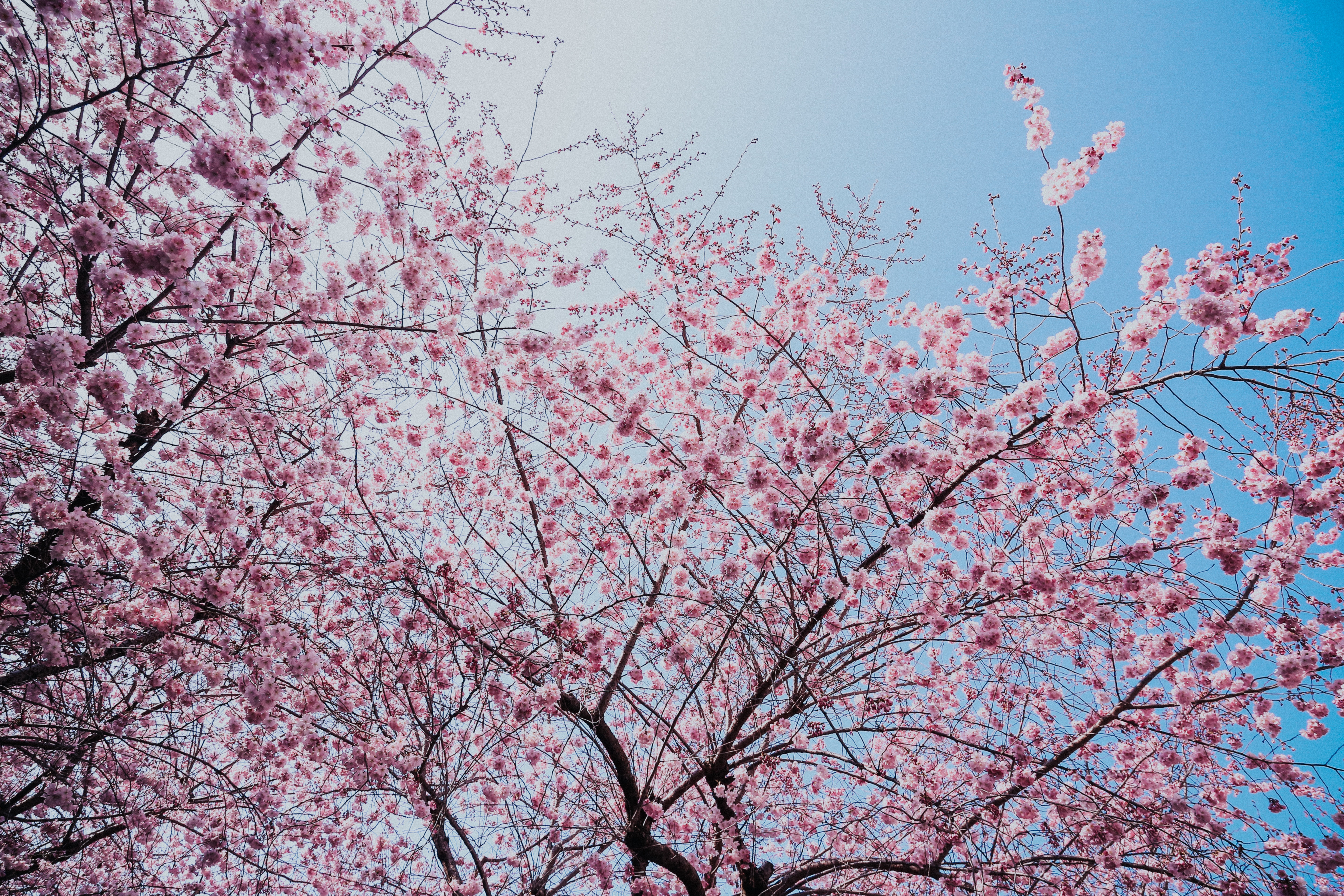 Pink Flowers On Trees Free Stock Photo