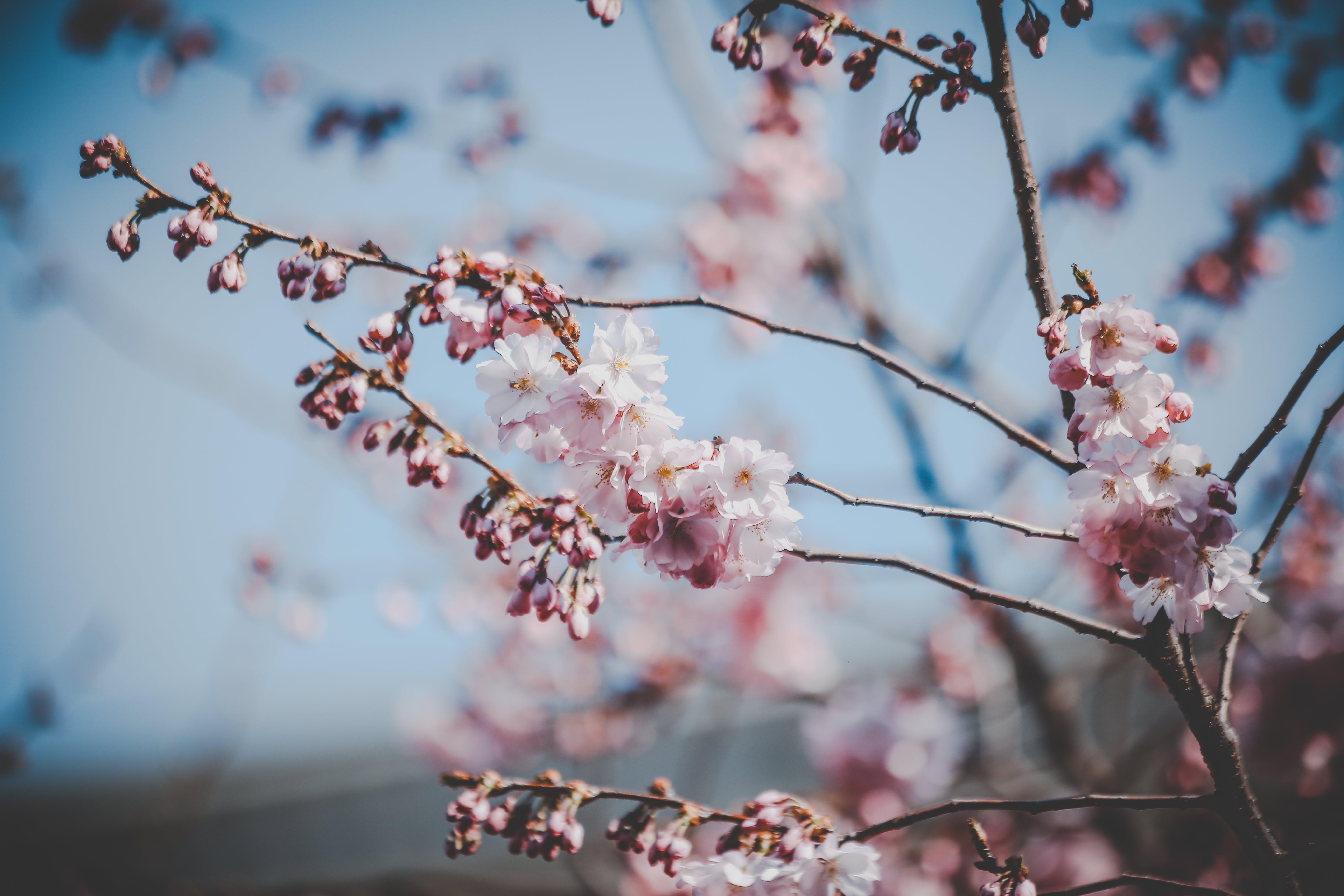 Fotos de stock gratuitas de al aire libre, árbol, brotar, cereza